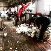Shearing Sheep is part of good Animal Welfare Fuhrmann Organic Wool