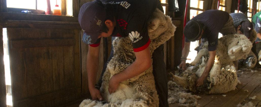 Fuhrmann Organic Wool shearing sheep