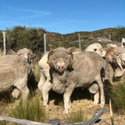 Merino Ram - Sheep Mating Season at Fuhrmann Argentina