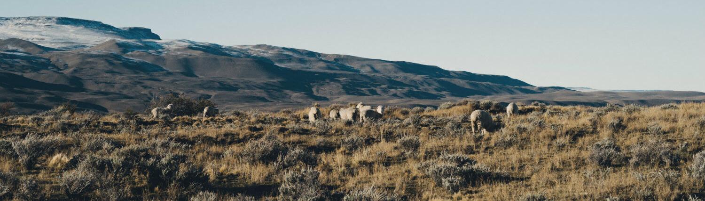 Sheep Fuhrmann Argentina Patagonia