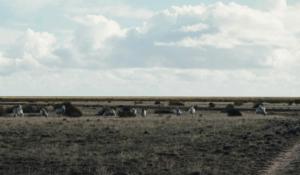 Sheep in the paddocks