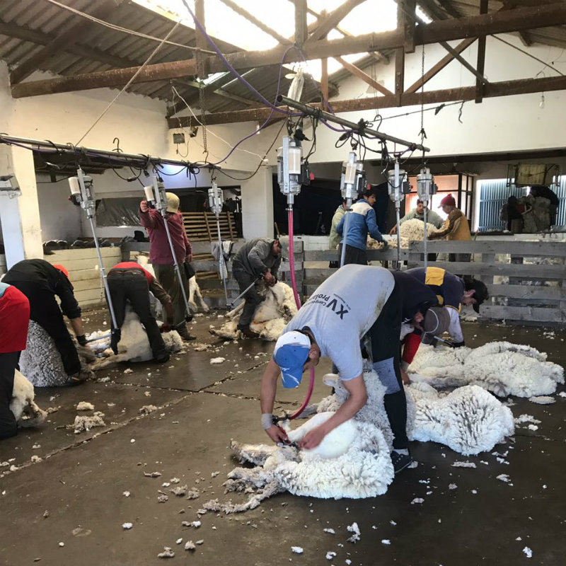 Shearing the sheep