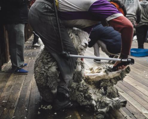 Shearing season Fuhrmann Argentina
