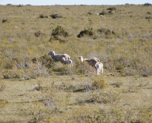 Fuhrmann Lambing Season Sheep in Paddock